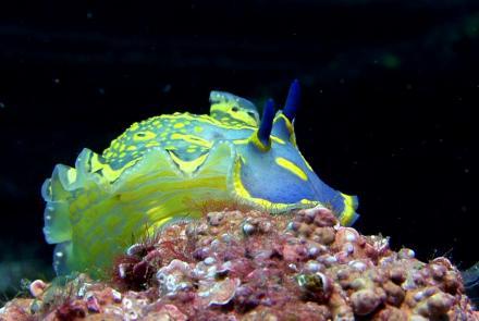 Le Nudibranche